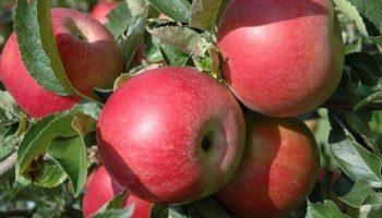 Яблоня Айдаред в саду — чтобы в доме всегда были яблоки