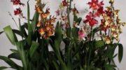 Орхидея Камбрия — одна из моих любимых. Рассказываю, как с ней правильно обращаться, чтобы получить шикарное цветение