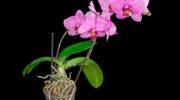 Не растут цветоносы у орхидеи: в чем причина и как это исправить