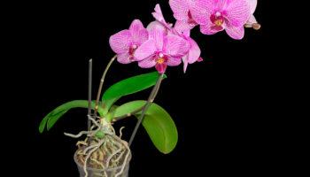 Орхидеи тоже хотят в отпуск: секреты ухода за растениями в период покоя
