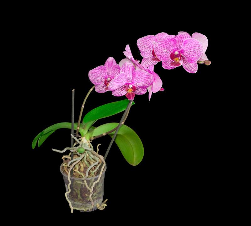 Эффектное в цветении и неприхотливое в уходе: растение Фаленопсис и все, что нужно о нем знать