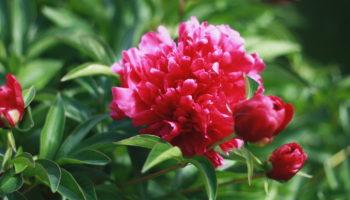 Технология посадки пионов осенью: рассказываю, как вырастить на участке шикарные кусты