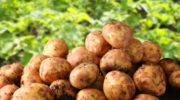 Борьба с подземными вредителями, которые могут загубить урожай картофеля и корнеплодов