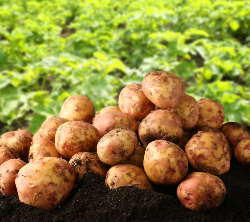 Раз картошка, два картошка… Какую же выбрать? Разбираемся в многообразии сортов и целей