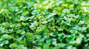 Удобряю почву Сидератами не только осенью, но и летом. Рассказываю, какими и когда