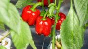 Можно ли получить семена из красивых магазинных болгарских перцев