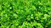 Посев петрушки под зиму помогает улучшить качество урожая. Рассказываю, как его осуществлять по всем правилам