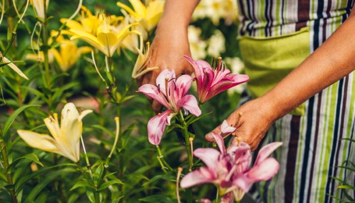 Лилии отцвели. Что делать с растениями дальше?