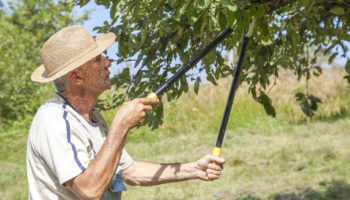 Считаю Обрезку одним из лучших способов увеличения урожая с плодовых Деревьев. Рассказываю, как вернуть им былую плодородность