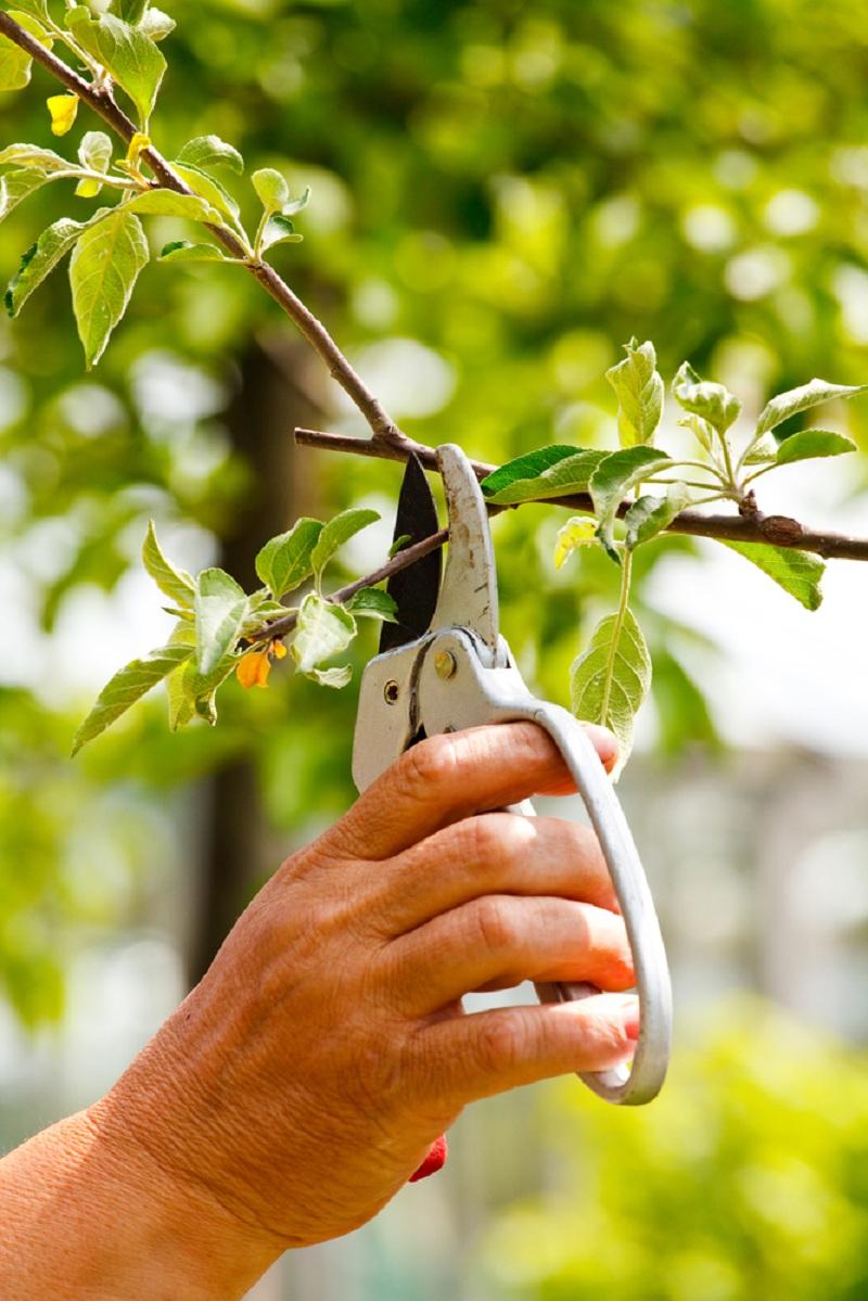 Регулярно обрезаю свои яблони осенью: преимущества и поэтапные инструкции для этой процедуры