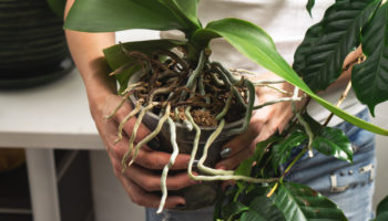 Пересадка орхидеи и последующий уход