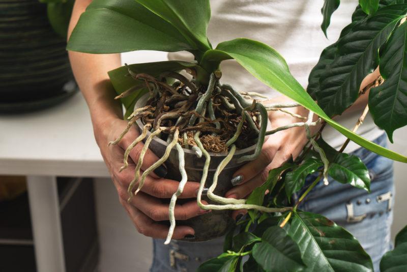 Корни орхидеи активно стремятся покинуть пределы горшка — что делать в этой ситуации