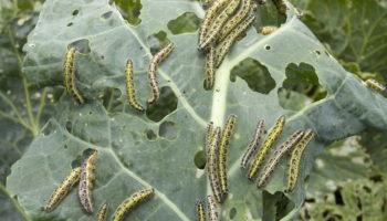 Как я спасаю свою капусту от вредителей: делюсь проверенными народными способами и химическими средствами