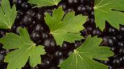 Раскрываю все тонкости ухода за смородиной после плодоношения — кустики отблагодарят отличным урожаем