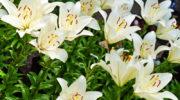 Лилии отлично растут и пышно цветут, если их вовремя пересаживать. О том, как это правильно делать, рассказываю всем интересующимся