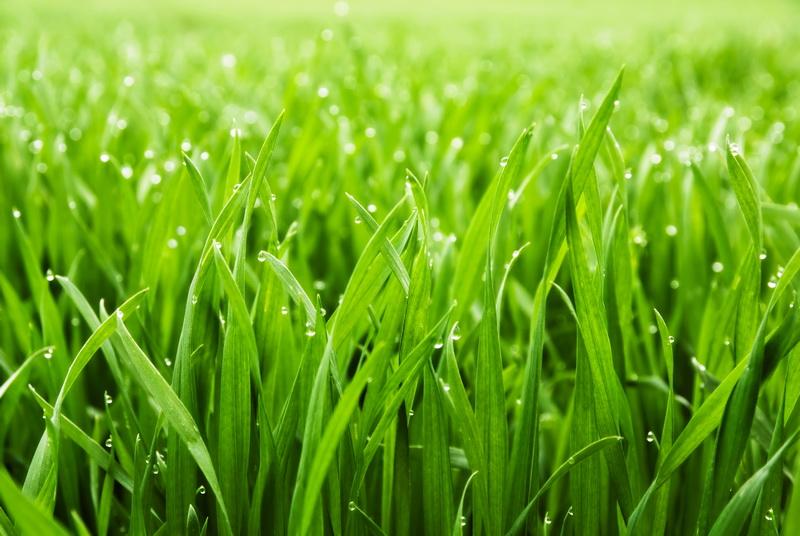 Чтобы газон был красив, важно правильно подобрать для него траву. Рассказываю про ее разновидности и их особенности