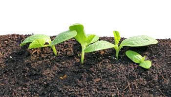 Рассадный способ выращивания огурцов: пошаговая инструкция
