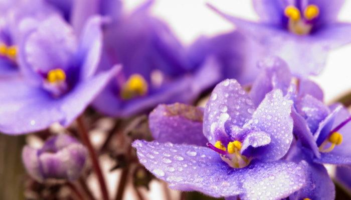 Куда пропала красота — почему комнатные фиалки отказываются зацветать