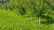 Сорта вкусных зеленых яблок — какие и где лучше выращивать