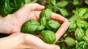 Как я выращиваю базилик на подоконнике круглый год