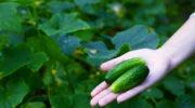 Огурцы сорта Адам дают вкусные сочные плоды, но только при правильном уходе. Раскрываю все его правила и тонкости