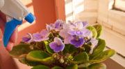 Причины, вызывающие увядание листьев у домашней фиалки