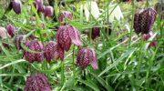 Рябчики как веяние садовой моды: раскрываю особенности посадки луковиц цветов, которые обещают стать звездами на каждой клумбе