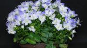 Прекрасная Кампанула — цветок, которым можно любоваться до октября. Рассказываю про все тонкости ухода за домашним привередой