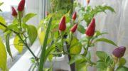 Рассказываю, как вырастить сочный Перец на подоконнике. Ничего сложного — и вкусные плоды всегда под рукой