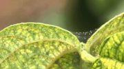 Паутинный клещ — опасный враг всего, что выращивают в теплице. Но его можно уничтожить при правильной обработке конструкции