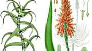 Цветущий алоэ — домашняя экзотика. Как ухаживать за растением, чтобы увеличить шансы на появление цветов