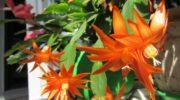 Предлагаю всем вырастить на дачном участке настоящий кактус. Рассказываю, как у меня поселился Рипсалидопсис