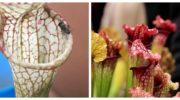 7 плотоядных растений для комнатного цветника