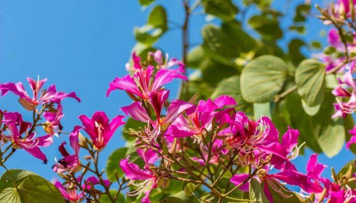 Прекрасная Баухиния, или Как вырастить орхидейное дерево