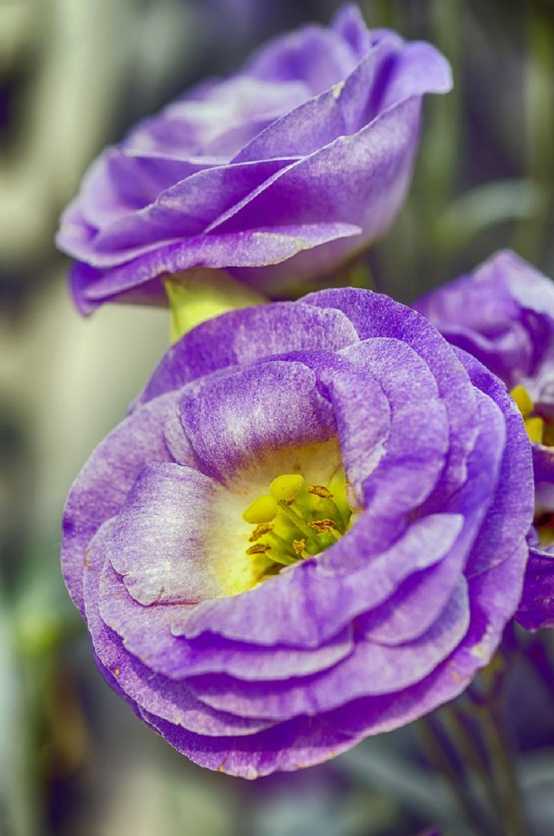 От посадки до цветения: особенности выращивания эустомы (лизиантуса) в комнатных условиях