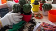 Правила проведения пересадки кактусов