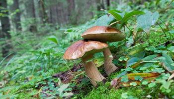 Грибы маслята: принесли домой из леса — как избавиться от всего лишнего? Самые быстрые способы
