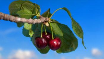Прививка вишни на сливу