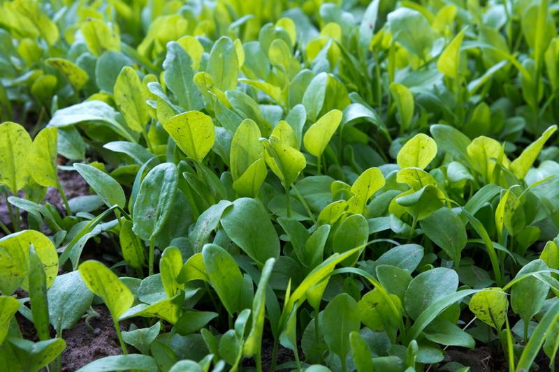 Какие виды зелени можно вырастить в огороде: обзор самых популярных культур