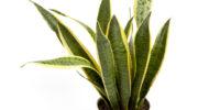 Сансевиерия — виды и сорта, осуществление ухода