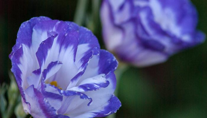 Выращивание роскошной эустомы (лизиантуса): начинаем посадку цветка с конца осени