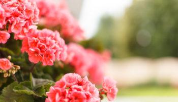 Польза йода для цветения герани