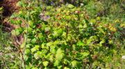 «Зеленый кордон» вокруг малины: как сдержать безудержное разрастание