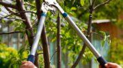 Нюансы обрезки сливы: правильно и аккуратно обрабатываем растение