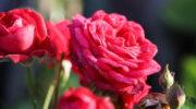 Правильная организация защиты роз от зимних морозов