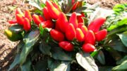 Декоративный перец: особенности выращивания в домашних условиях