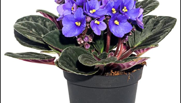 Узамбарская фиалка (сенполия) в доме: какие народные поверья связаны с этим цветком