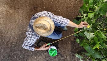 5 рецептов подкормки из борной кислоты, которые сделают ваши огурцы сильными и значительно повысят урожайность