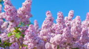 Как обеспечить обильное цветение сиреневых кустов в следующем году: секреты осеннего ухода