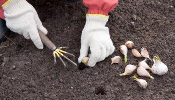 Выбор и подготовка грядок для посадки озимого чеснока